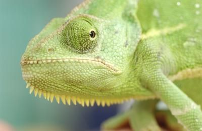 How to Care for a Chameleon Lizard