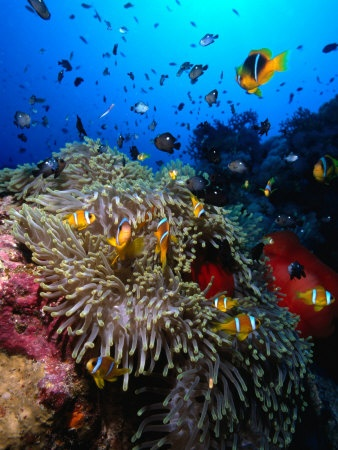 Red Sea Reef, Egypt