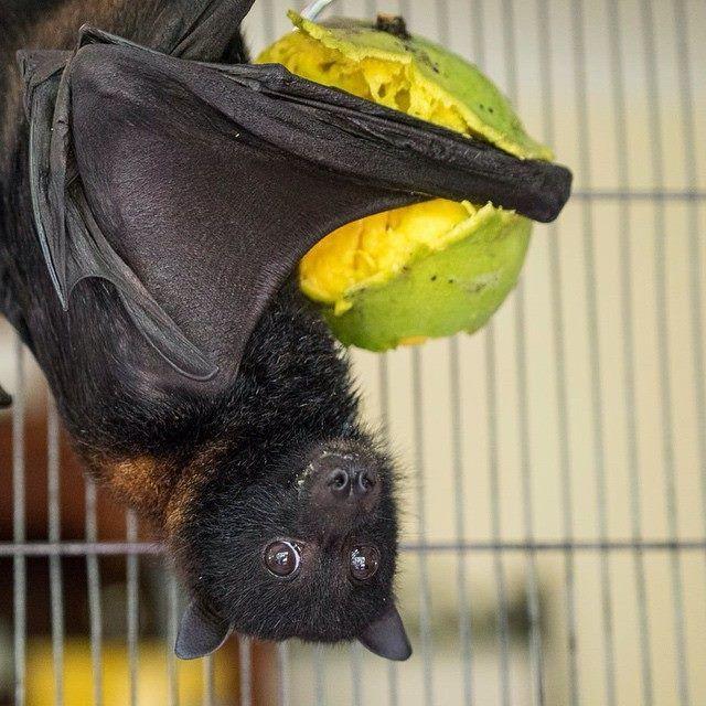 Baby Bats and Buddies of Bats QLD It looks like Tim