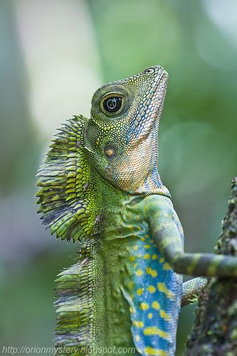 Male great angle head lizard | Flickr - Photo Sharing!