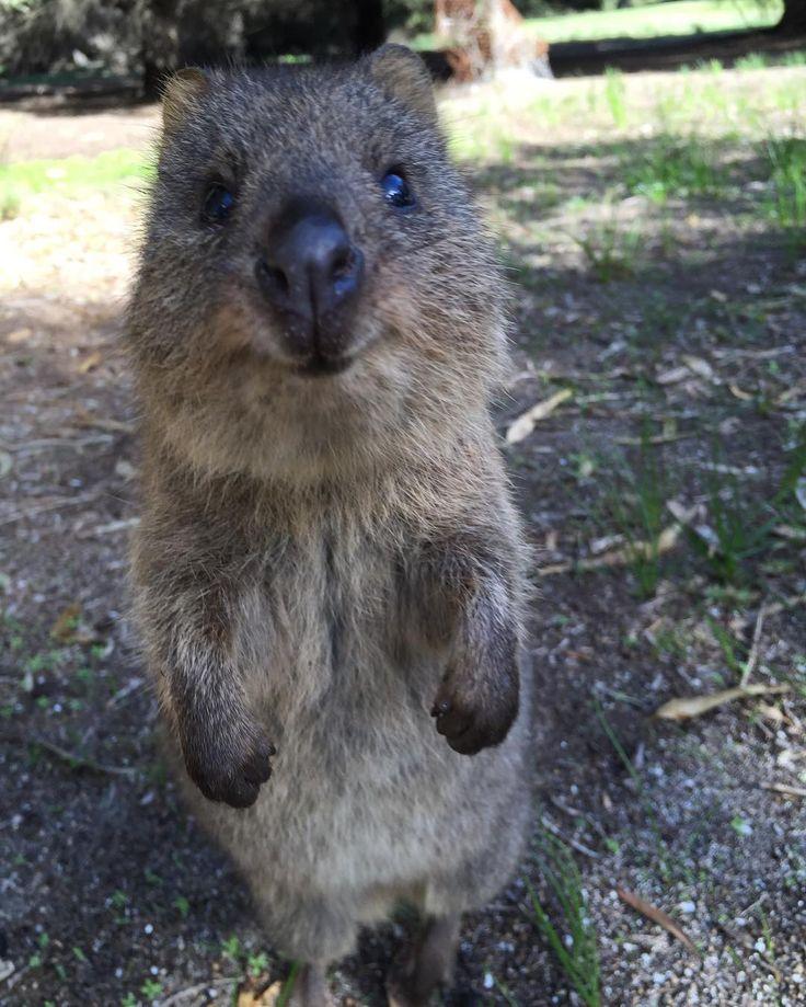 クオッカ もう頭から一生離れんかわいさ #rottnestisland #perth #australia #quokka #quokkaselfie #quokkas #quokkalove #thehappinestanimal #animal #ausie #ロットネスト島 #ロットネストアイランド #クォッカ #クォッカセルフィー #パース #オーストラリア #世界一幸せな動物 #世界一の笑顔 by plu_chan6 http://ift.tt/1L5GqLp