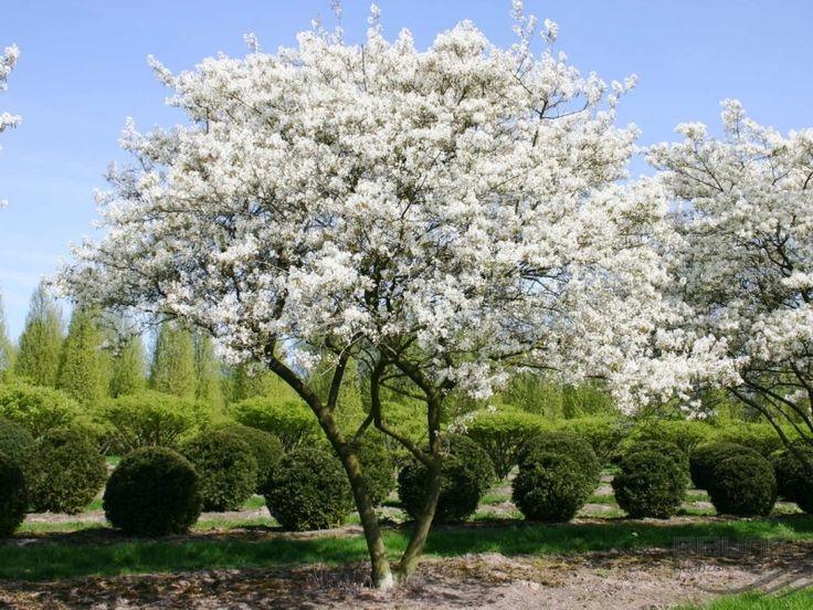 Krentenboom | Amelanchier Arborea Robin Hill | Sierbomen
