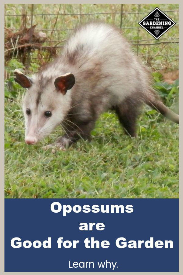 94e4ce567b90a75c26c9217cccfecd13 - How To Keep Possums Away From Vegetable Gardens