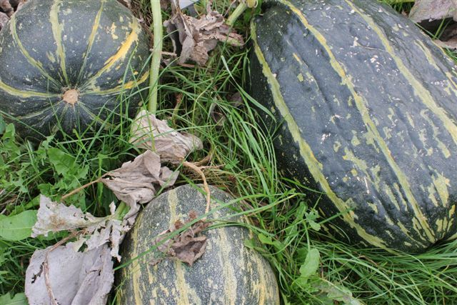 Very old Danish Cultivar of wintersquash, 'Grøn dansk køkkengræskar', I was almost extict, but i am growing it, for seed thanks to Danish Seedsavers who saved a few seeds, and now it's becoming popular aagin. Things we cherish just dissapear if we are not paying attention to them. This punmpkin is the best for a traditional Danish sweet - sour pickle. Seeds, again from autumn 2015, are available at my webshop www.fuglebjerggaard.dk