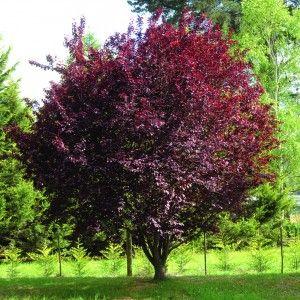 Prunus nigra