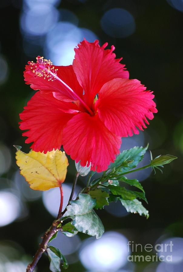 """""""Red Hibiscus Flower""""  michellewrighton.com"""