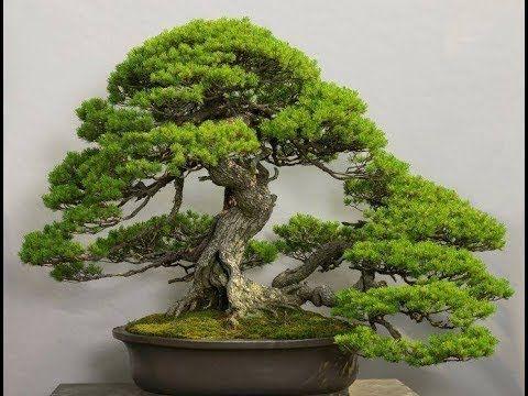 Bonsai trees exhibitions wonderful show