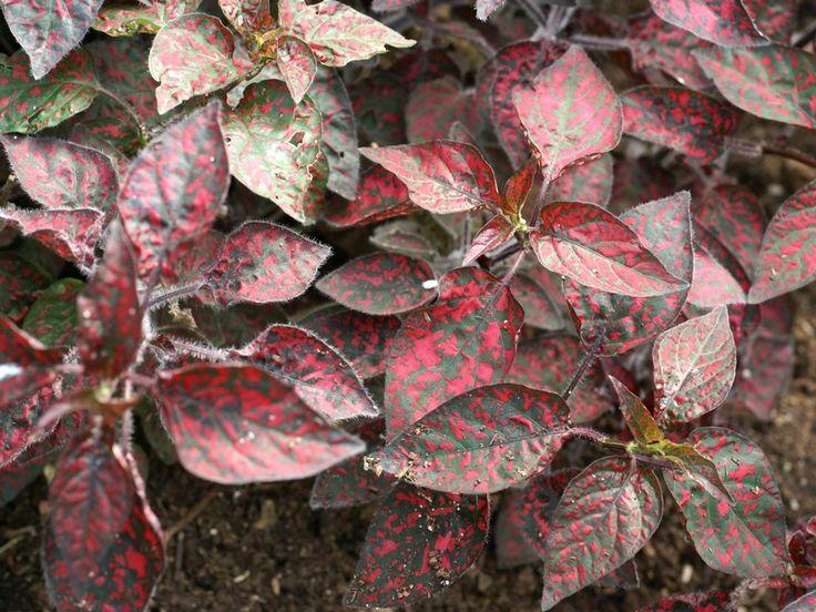 http://faaxaal.forumactif.com/t556-photo-d-arbrisseau-plante-aux-ephelides-hypoestes-phyllostachya-hypoestes-sanguinolenta-polka-dot-plant#11447