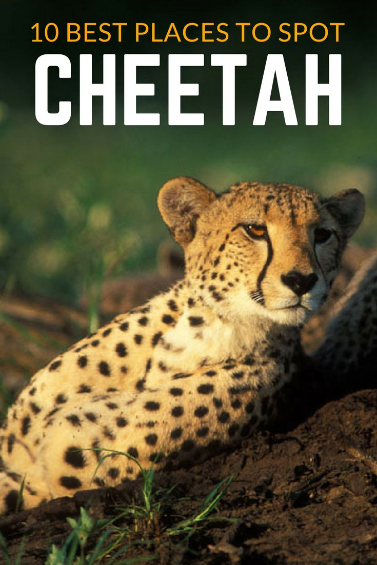 Regular sightings of cheetah on safari are sporadic and localised and limited to only a few regions where the habitat and predator pressures, are most favourable. So here are my tips on where to go if cheetahs are on your must-see list. #AnimalsInAfrica #Cheetah #Safari
