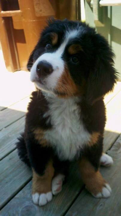 Berner baby. Be still my heart.