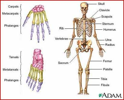 45 best images about skeletal system on pinterest | a business, Skeleton