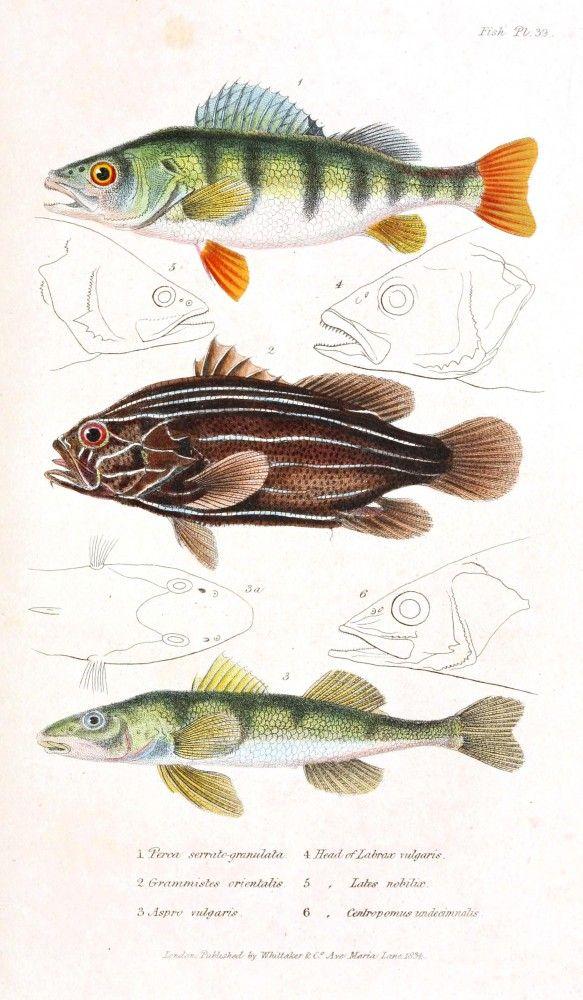 free vintage printables / fish - Couvier 1834 #nature #fish #scientific #illustration #posters