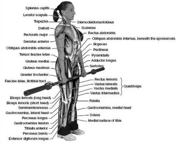 Deadlift Muscles Diagram Deadlift Muscles Worke...