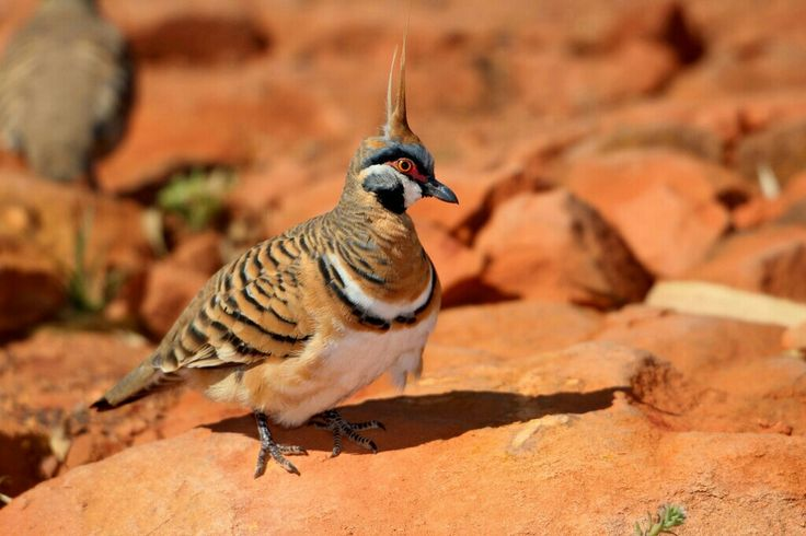 Spinifex Pigeon.  Photo taken near Winton, QLD by Lee Mason.