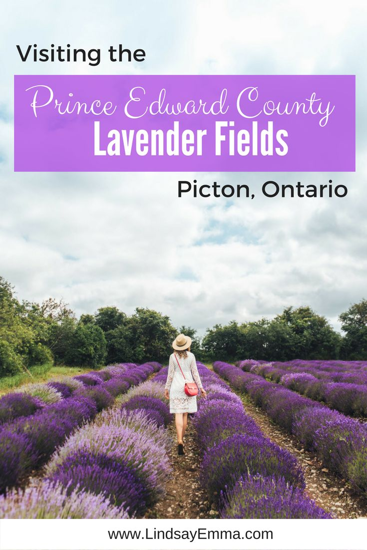 Visiting the Prince Edward County Lavender Fields, Picton Ontario