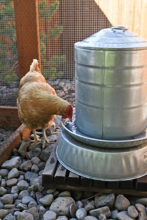 Elevating the watering station helps keep the water clean and free from dirt and debris that the chickens might otherwise scratch up into it. Also surrounding with rocks cuts down on the dust in the water.