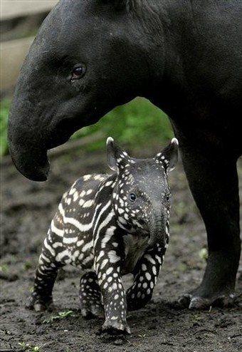 Baby Malayan Tapir with Mom