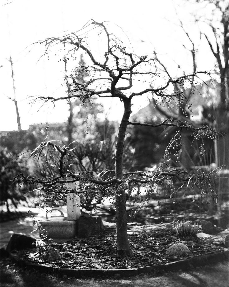Sargent crabapple Cambo SC2 4x5 Monorail view camera Leitz Elmaron 200mm 3.5 projection lens with DIY guillotine shutter with 1/50s curtains  Fomapan 100 pulled to 50 developed with Ilford LC29 129 20deg 8min  ISO 50 | f3.6 | 1/50 second black white monochrome 4x5 large format film analog cambo fomapan 100 pull 50 lc29 bokeh bokehlicious buyfilmnotmegapixels filmisnotdead leitz elmaron projection lens