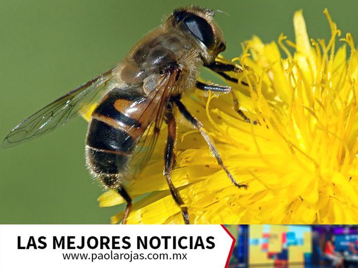 LAS MEJORES NOTICIAS. Las abejas son muy importantes para el desarrollo del hombre, ya que sin ellas el 60% de las frutas y verduras que hoy consumimos desaparecerían al no ser polinizadas, pues de las cien especies de cultivos que abastecen el 90% de los alimentos del mundo, las abejas polinizan más del 71% de ellos. Le invitamos a consultar nuestro sitio www.paolarojas.com.mx,  para conocer más sobre la importancia que tienen las abejas en nuestra vida. #PaolaRojas