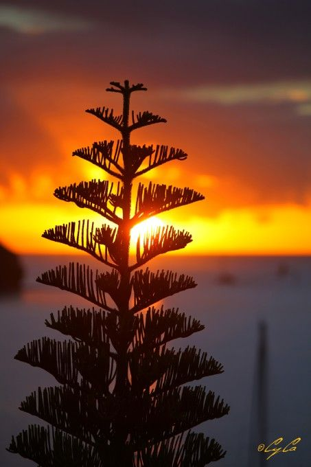 Sunset and wonderful Norfolk Island Pine.      	By: Cyril C.  |