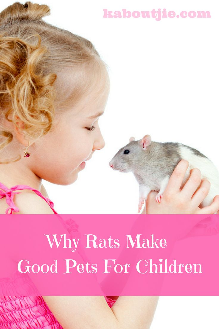 Yes I know, Rats have a terrible reputation but seriously they are amazing animals and make the best pets for your kids! Here are some really great reasons why rats make good pets for children.   #Rats #PetRats #PetRatsForChildren #WhyRatsMakeGoodPets #PetsForChildren  http://kaboutjie.com/pets/why-rats-make-good-pets-for-children/