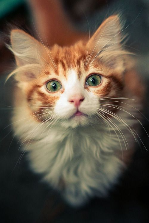 Such a sweet faced cat! Looks like at least part Maine Coon.