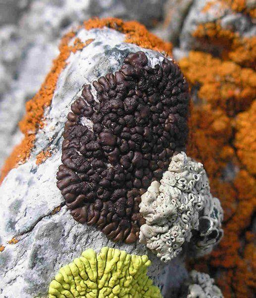 Acarospora rosulata