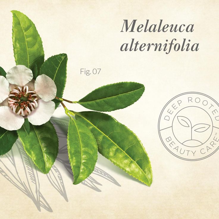Finding #56: Tea Tree (Melaleuca alternifolia), native to a small region of Australia, is well-known for its powerful antiseptic and healing properties. The derived oil works wonders for a dry, irritated scalp and skin. Tea Tree Oil is o en added to hair care as a soothing ingredient, helping to alleviate flakiness and itchiness. Avalon Organics® Tea Tree Mint Scalp Normalizing Shampoo relieves discomfort while cleansing and energizing hair and scalp.