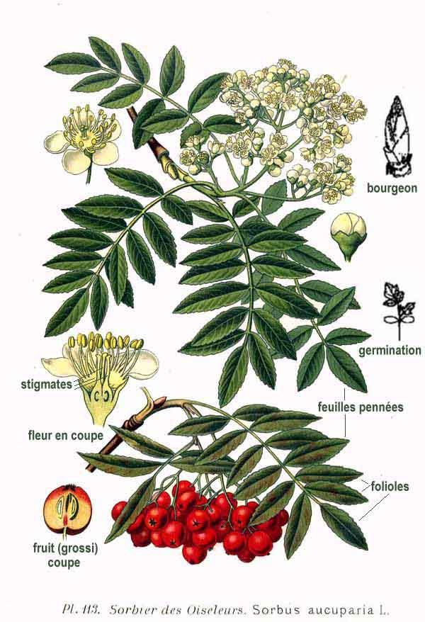 081514 rowan ~ Sorbus Aucuparia http://www.pinterest.com/evoketheelement/fire-key-ingredients/