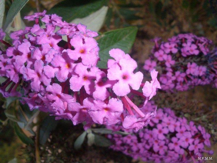 Flor del  Arbusto de Las Mariposas