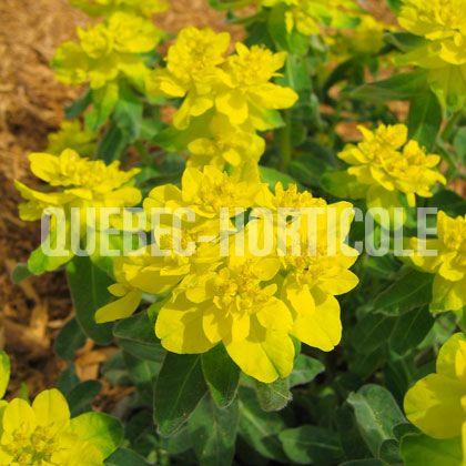 image de Euphorbia polychroma
