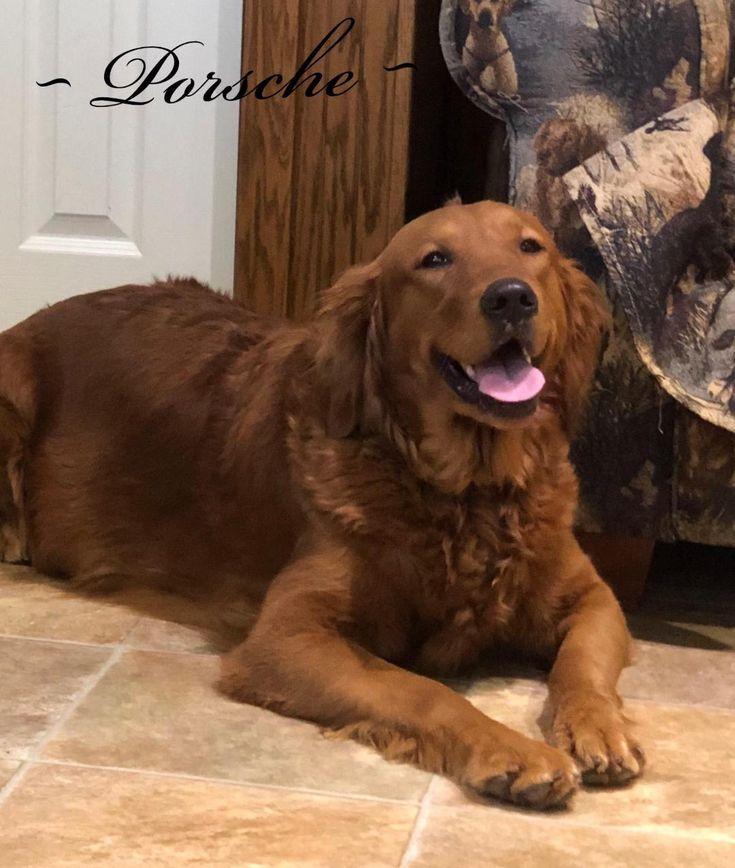 Golden retriever puppies pennsylvania puppies for sale