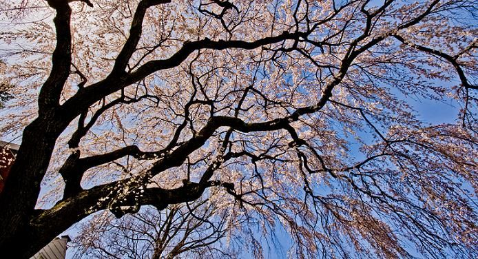 Imgs For > Cherry Blossom Tree Branch Real | Cherry ...