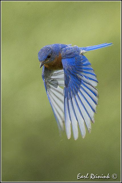 Eastern Bluebird - title Wings Down