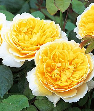 Rose, Charlotte.Lovely tea fragrance with exquisite flowers of a soft yellow color.