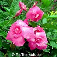 Mandevilla amabilis, Thai Rose  Click to see full-size image
