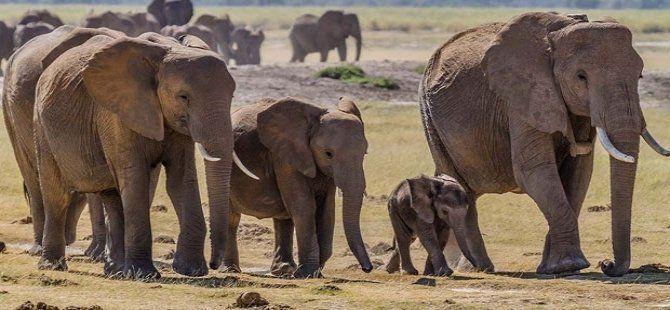 Afrika'da fil nüfusu 415 bine geriledi; sorumlusu avcılık!
