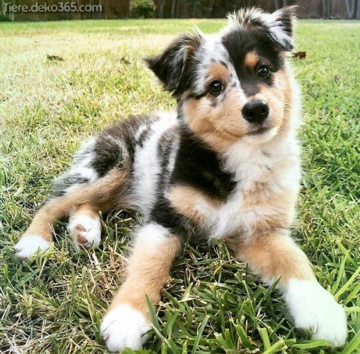 Außergewöhnlich kleine Hunderassen, die eher süß sind