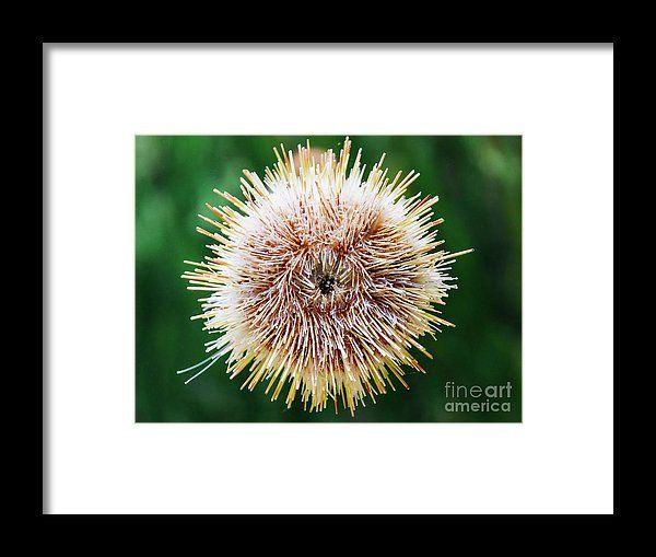 Melon Sea Urchin In Aquarium Framed Print