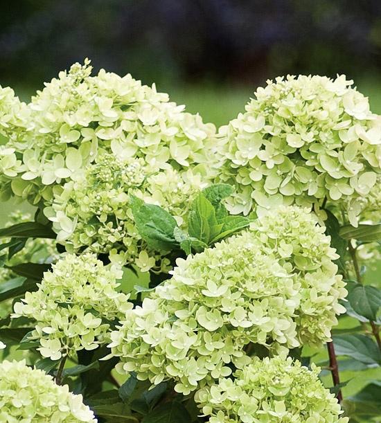 Plant Hydrangeas: Best 25+ Little Lime Hydrangea Ideas On Pinterest