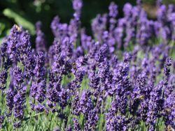 Lavendel 'Hidcote Blue' - Lavandula angustifolia 'Hidcote Blue'. Verwendung als Bienenweide, Randbepflanzung und als gute Begleitpflanze für Rosen.