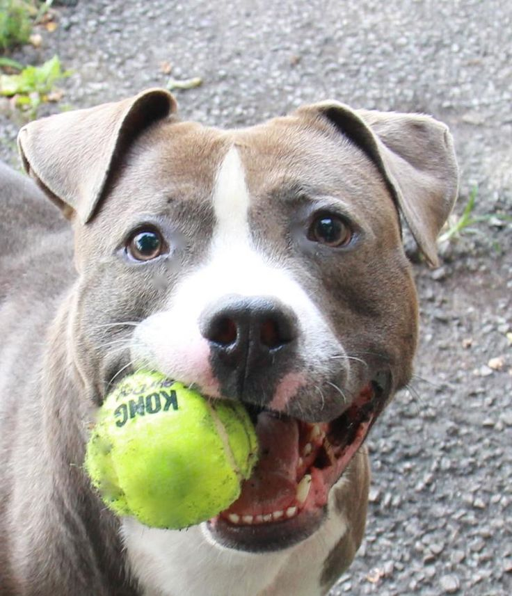 Adoptable Max is about 2.5 yrs old and 50 lbs...He is an easy to walk dog and loves to play with a toy or ball.  Click through to learn more about him!