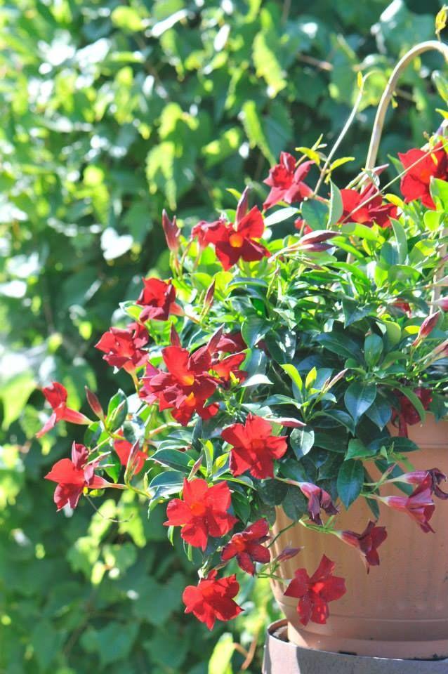 17 meilleures id es propos de fleurs annuelles sur for Plante annuelle