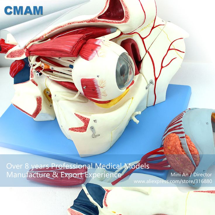 CMAM-EYE04 Anatomy Human Eyeball and Orbit with Vessels and Nerves ,  Medical Science Educational Teaching Anatomical Models