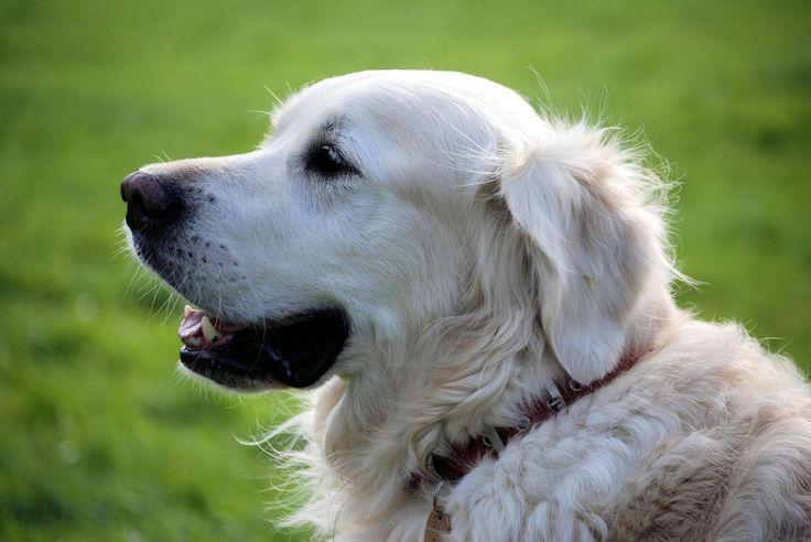 🌐 Golden Retriever Dog Wearing Red Collar - download photo at Avopix.com for free    🆓 https://avopix.com/photo/37571-golden-retriever-dog-wearing-red-collar    #dog #borzoi #hunting dog #hound #wolfhound #avopix #free #photos #public #domain