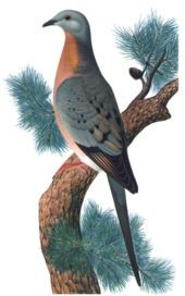 The passenger pigeon, one of hundreds of species of extinct birds, was hunted to extinction over the course of a few decades