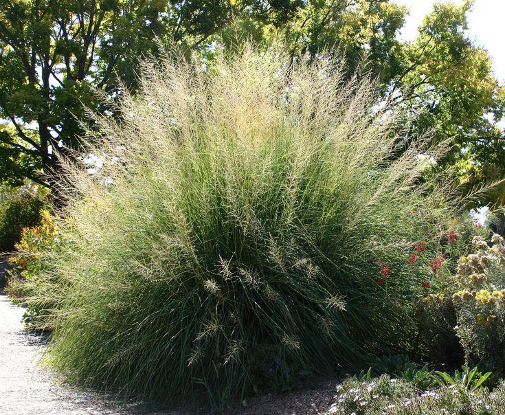 Sporabulous wrightii 'Windbreaker' Giant Sacaton grass