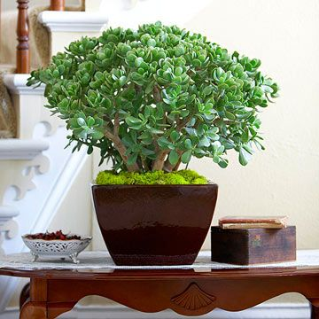 Jade Plant (Crassula ovata) The jade plant is an old-fashioned favorite for a reason: It's so easy to grow! This long-lived South African native grows thick stems and thick, glossy green leaves tinged with red.