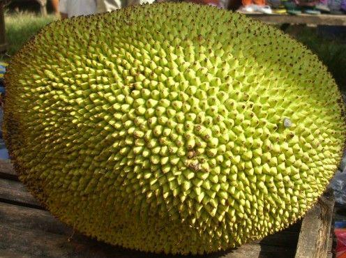 Jackfruit is a fruit of a jackfruit tree in our garden.