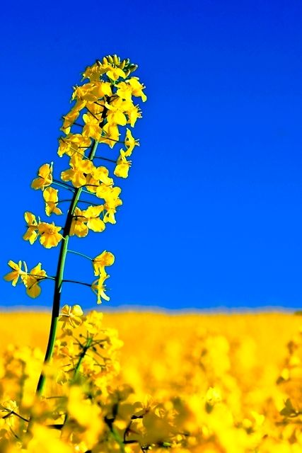 floare de rapita - rape flower